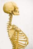 Human skeleton. Isolated on white royalty free stock photos