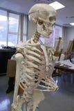 Human Skeleton Anatomical Model. 3/4 view of an anatomical model of the human skeleton royalty free stock image
