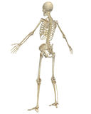 Human Skeleton Anatomy Angled Rear View Royalty Free Stock Photos