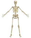 Human Skeleton Anatomy Front View Royalty Free Stock Images