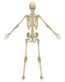 Human Skeleton Anatomy Rear View Royalty Free Stock Photos