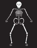 Human Skeleton Stock Images
