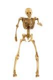 Human skeleton bone standing action Stock Photography