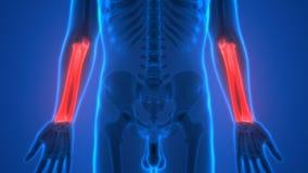 Human Skeleton Bones Anatomy (Radius and Ulna Bones) Stock Photography