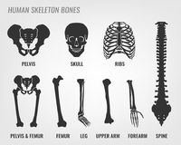 Human skeleton bones. Vector illustration in flat style with bones names isolated on a light grey background Royalty Free Stock Photos