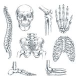 Human skeleton, bones and joints. Vector sketch isolated illustration. Hand drawn doodle anatomy symbols set.  vector illustration