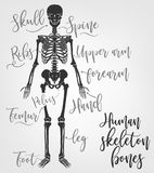 Human skeleton bones. Vector illustration in flat style with handwritten bones names isolated on a light grey background Royalty Free Stock Photo