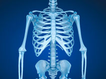 Human Skeleton, Breast Chest Stock Image