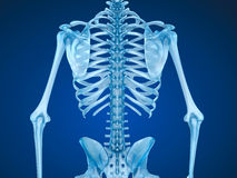 Human skeleton: breast chest. Front view. Royalty Free Stock Image