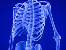 Human skeleton: breast chest. Medically accurate 3D illustration Stock Images