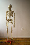 Human Skeleton in Classroom. A human skeleton model in an empty room royalty free stock images