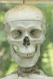 Human skeleton. Close up Human skeleton in the garden royalty free stock photography