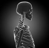Human Skeleton royalty free illustration