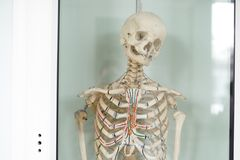 Human skeleton cubit anatomical model. Medical clinic concept. Selective focus royalty free stock photo