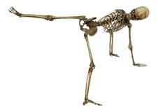 Human Skeleton Royalty Free Stock Photo
