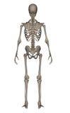 Human skeleton - 3D render Royalty Free Stock Photos