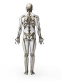 Human skeleton Stock Image