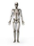 Human skeleton. 3d rendered illustration - human skeleton Stock Photo