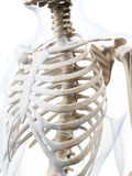 The human skeleton Royalty Free Stock Images