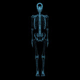Human skeleton (3D xray blue transparent). Human skeleton (3D xray blue transparent isolated on black background royalty free stock photography