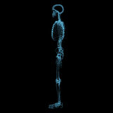 Human skeleton (3D xray blue transparent) Stock Photography