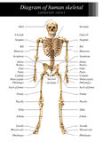 Human skeleton diagram. In anterior view on white background for basic medical education royalty free stock photography