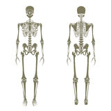 Human skeleton. Didactic board of anatomy of human bony system. The human skeletal system, front and rear view. Royalty Free Stock Photo