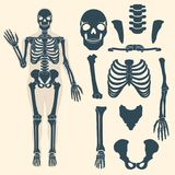Human skeleton with different parts. Anatomy of human body, wrist and thorax, chest, finger and skull, jaw and pelvis. Skeleton didactic or anatomical body royalty free illustration