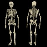 Human skeleton double view Royalty Free Stock Images
