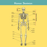 Human Skeleton with explanations. Illustration of skeletal system with labels. Human Skeleton. Vector illustration. Didactic board of human bony system vector illustration