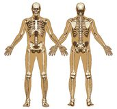 Human skeleton on flat body background Stock Photo