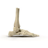 Human Skeleton Foot on White 3D Illustration Royalty Free Stock Photography