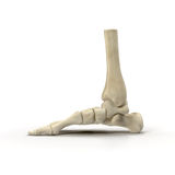Human Skeleton Foot on White 3D Illustration Stock Photography