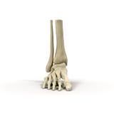 Human Skeleton Foot on White 3D Illustration Royalty Free Stock Photos
