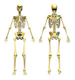 Human Skeleton - Front and Back. Anatomically correct 3D render of a human skeleton. Front and back views Royalty Free Stock Image