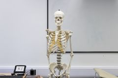 Human Skeleton at the front of the class stock photo