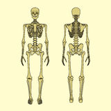 Human skeleton, front and rear view. Didactic board of anatomy of human bony system. Vector illustration. Main parts of the skeletal system royalty free illustration