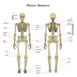 Human skeleton, front and rear view with explanatations. Stock Photo