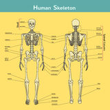 Human skeleton, front and rear view with explanations. Stock Image