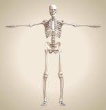 The human skeleton Royalty Free Stock Image
