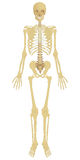 Human Skeleton Royalty Free Stock Photos