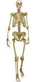 Human skeleton illustration isolated on white background Stock Image