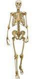 Human skeleton illustration isolated on white background Stock Image