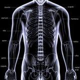 3d illustration of human body skeleton anatomy Stock Images