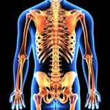 3d illustration of human body skeleton anatomy Royalty Free Stock Images