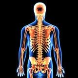 3d illustration of human body skeleton anatomy Stock Image