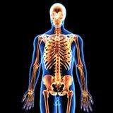 3d illustration of human body skeleton anatomy Stock Photography