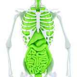 Human skeleton with internal organs. . Contains clipping path Royalty Free Stock Photo