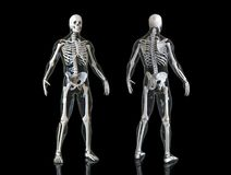 Human Skeleton Isolated In Background , 3d Render Stock Images