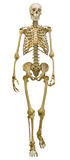 Single human skeleton on white